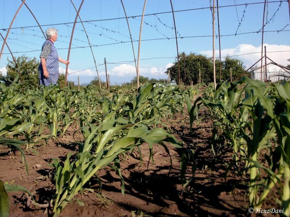 Bruszi Julianna néni a kertjében mutatja a károkat, a kukorica is elhajolt a forgószélben.