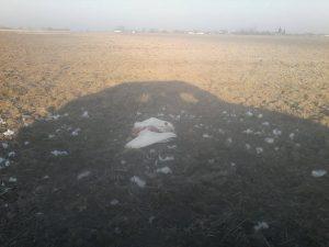 Elhullott hattyú Nagykeszinél, január elején. A tetemet azóta begyűjtötték. Olvasónk, Jassa Dávid felvétele